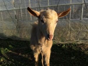 4/23生まれのクリームちゃんでーす。オスなので、我家では飼えなくて、お隣の筑北村に婿入りしました。