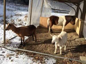 山羊さんたちは走らなくていいのね。その脚借りたい気もするが、行ってきまーす。